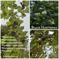 Black Hawthorn -- herbs for hypertension