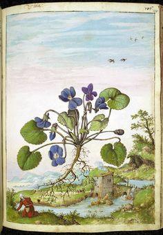 Viola odorata, from De Materia Medica
