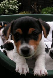 a very young Jack Russell puppy