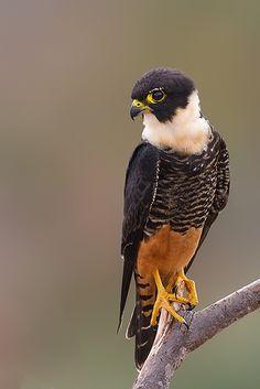 Cauré, Cauré-i, Coleirinha, Falcão-de-garganta-branca, Gavião-de-coleira, Tentenzinho ou Falção-morcegueiro (Falco rufigularis)