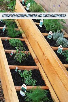 How To Grow Herbs In Hot Climates - LivingGreenAndFrugally.com