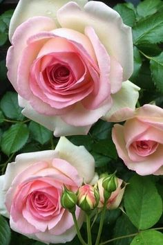 Why Rose Gardening Is So Addictive - Urban Gardening Beautiful Rose Flowers, Pretty Roses, Romantic Roses, All Flowers, Exotic Flowers, Amazing Flowers, Foto Rose, Parfum Rose, Good Morning Flowers