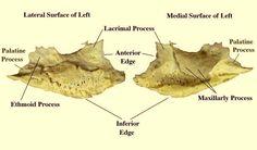 Inferior Nasal Concha #anatomy