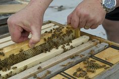 Legal bees in the city have urban beekeepers abuzz