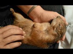 プレーリドッグの赤ちゃんをナデナデしちゃってる映像集 - http://naniomo.com/archives/4689