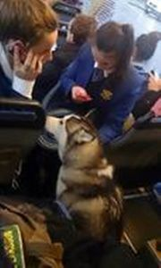 """""""Australian bus driver saves dog lost in traffic"""" Posted May 24, 2013 An Australian bus driver is credited with saving the life a dog lost in traffic. This compassionate driver saw the husky running through heavy traffic and stopped the bus for the lost dog. Then the driver opened the bus door, allowing the dog to come onboard. #dogs"""