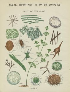 Algae in water supplies: an illustrated manual on the identification, significance, and control of algae in water supplies., Page: 35 | UNT Digital Library