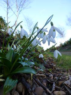 Snowdrops - signs of Spring at Walkers Nurseries