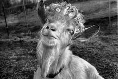 Another celebrity endorsement! Sam the Goat says he uses BSO to treat all his skin irritations and keep him lookin' and feelin' greeeeaaat.  Aaa-aa-aaaask For It! www.BlueStarOintment.com