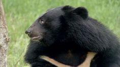 BBC News - Vietnam Bear Rescue Centre faces eviction