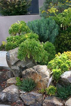 Euphorbia and Aeoniums in a rock garden.