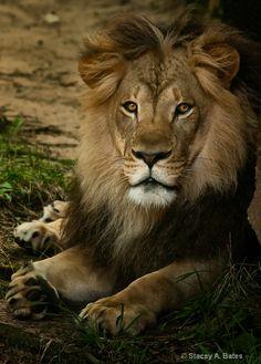 I love lions.