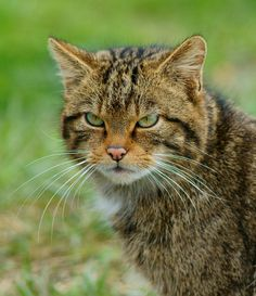 https://flic.kr/p/9oae3g | 'Kendra' (3) | Seen at the British Wildlife Centre, Newchapel, Surrey. Scottish Wildcat 'Kendra'.