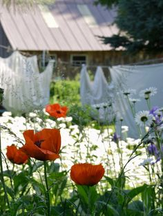 ...my mother always hung her laundry - she never had a dryer;  AND she grew the most beautiful poppies I've ever seen.....