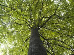 Tree canopy - support the Woodland Trust Tree Canopy, Walk In The Woods, Woodland, Nature, Trust, Boys, Life, Baby Boys, Naturaleza
