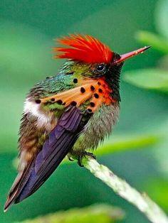 Tufted Coquette Hummingbird.