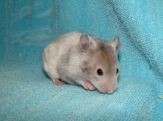 Sable Polywhite sh hamster (eeU_ - L_wh^pwh^p)