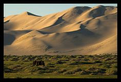 twin humped Bactrian camel at sunrise at the Khongoryn Els sand dunes  in the Gobi Desert of  Mongolia