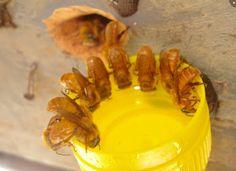 Uruçu Amarela (melipona rufiventris)