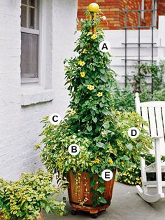 Create Drama with Vines  A. Black-eyed Susan vine (Thunbergia alata 'Suzie hybrids') -- 2   B. Coleus (Solenostemon 'Goldie') -- 1  C. Lantana (Lantana 'Landmark Yellow') -- 1  D. Abutilon pictum 'Thompsonii' -- 4  E. Osteospermum 'Lemon Symphony' -- 1