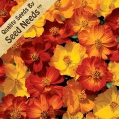 """150 Seeds, Cosmos """"Bright Lights Mixture"""" (Cosmos Sulphureus) Seeds By Seed Needs by Seed Needs: Flowers. $1.85. Grows to a mature height of 24 inches tall. Prefers an area of full sunlight, & average moisture daily. Easy planting instructions printed on each Seed Needs packet along with a colorful picture of the plant.. Quality Cosmos seeds packaged by """"Seed Needs"""". Annual Flower that blooms until the Fall & then dies with the first frost. Cosmos flower seed can be a great add..."""