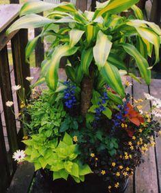 THRILLER   Corn plant (Dracaena massangeana, Zone 11)    FILLERS  Mystic Spires Blue salvia (Salvia 'Balsalmisp', Zones 7-10)  'Icterina' sage (Salvia officinalis 'Icterina', Zones 5-8)  'Sedona' coleus (Solenostemon scutellarioides 'Sedona', Zone 11)  'Big Blonde' coleus (Solenostemon scutellarioides 'Big Blonde', Zone 11)  Osteospermums (Osteospermum cvs., Zones 10-11)    SPILLERS  'Sweet Caroline Light Green' sweet potato vine (Ipomoea batatas 'Sweet Caroline Light Green', Zone 11)…