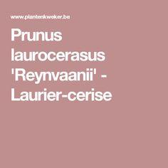 Prunus laurocerasus 'Reynvaanii' - Laurier-cerise