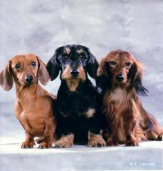 Dachshunds - smooth, wire and longhair