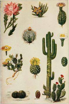 Category:Cactaceae botanical illustrations — Wikimedia Commons
