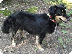 Rockville md sheltie shetland sheepdog mix meet deena a dog for