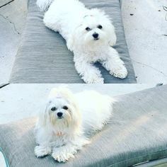 Lilly & Bella poolside Maltese