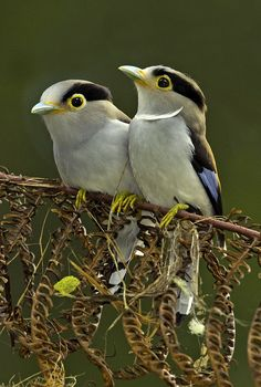 Silver breasted broadbill pair by Graeme Guy