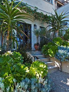 Entrance flanked by huge green-leafed Aeonium undulatums, and blue-leafed Senecio mandraliscae.