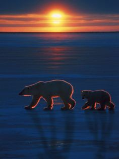 polar bears with long shadows
