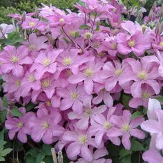 Clematis Comtesse De Bouchaud. New this year. Pretty purple tones in the foliage already.