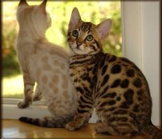When I have my own place one day, I want a Bengal cat! They look like cheetahs :) @Ariana Baird @Sara Baird - Spoil your kitty at www.coolcattreehouse.com
