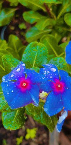 Periwinkle Flowers, Love, Nature, Plants, Backgrounds, Amor, Naturaleza, Plant, Nature Illustration