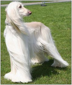 I wanted a white afghan hound so bad when I was little!  When most other girls I knew wanted a pony, I wanted a dog. Haha