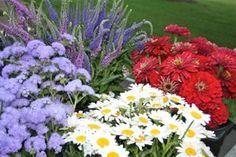 Buckets of zinnias, daisies, ageratum and veronica.