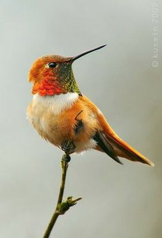 Beautiful Hummingbird. Magnificent colors!