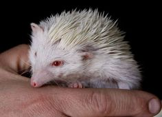 A rare albino hedgehog is photographed in a pet shop in Johannesburg, Friday, July 6, 2012. The noct... - Denis Farrell/AP Photo