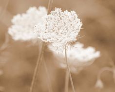 Fine Art Photography Queen Anne's Lace by KarenWebbPhotography, $29.00