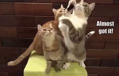 Kittens also use play to learn about their developing capabilities and exercise harassment, pursuing. During playtime using their littermates, they also understand communication skills and crucial body gestures. Baby Animals, Funny Animals, Cute Animals, Funny Cat Videos, Funny Cats, I Love Cats, Cool Cats, Getting A Kitten, Gato Gif