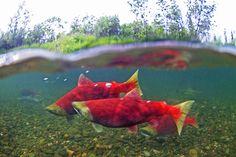 Sockeye Salmon #8 – Nushagak River, Alaska