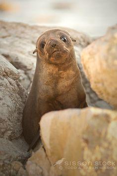 New Zealand Fur Seal pup, Kaikoura, New Zealand