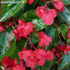 Begonia Dragon 1 Unidad 10litros Begonia Plantas Con Flores