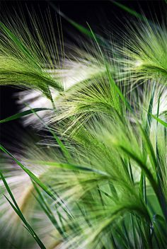 Hordeum jubatim. Foxtail Barley. Squirrel Tail Grass. Short lived yet self sows prolifically.(noxious weed in irrigated pastures of western U.S. 2.5'. Flowers in June-July.