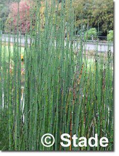Staudenfoto zu Equisetum hyemale var. robustum (Sumpf-Schachtelhalm)