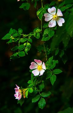 Dog Roses (Rosa canina) by Anguskirk on Flickr.