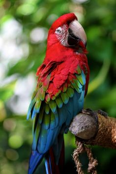 Red Macaw or King Parrot... From ancient times they were hunted by Indians for food & feathers. Such beautiful birds.